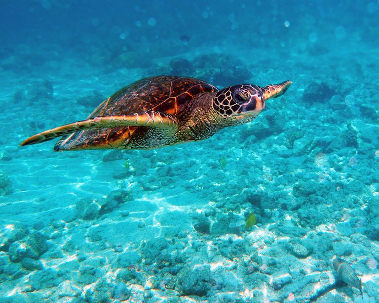 Dominican-Republic-GreenTurtle