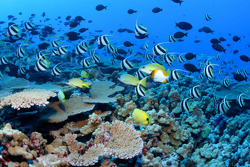 French_Frigate_Shoals_reef_-_many_fish