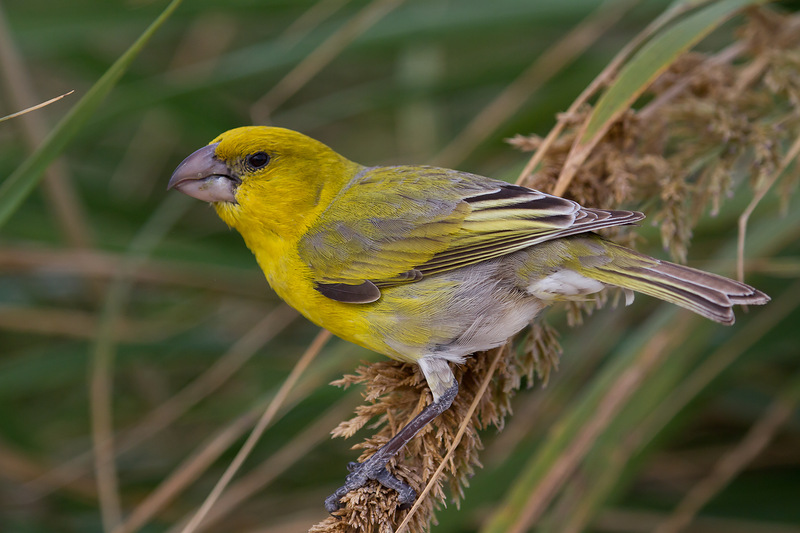Nihoa bird
