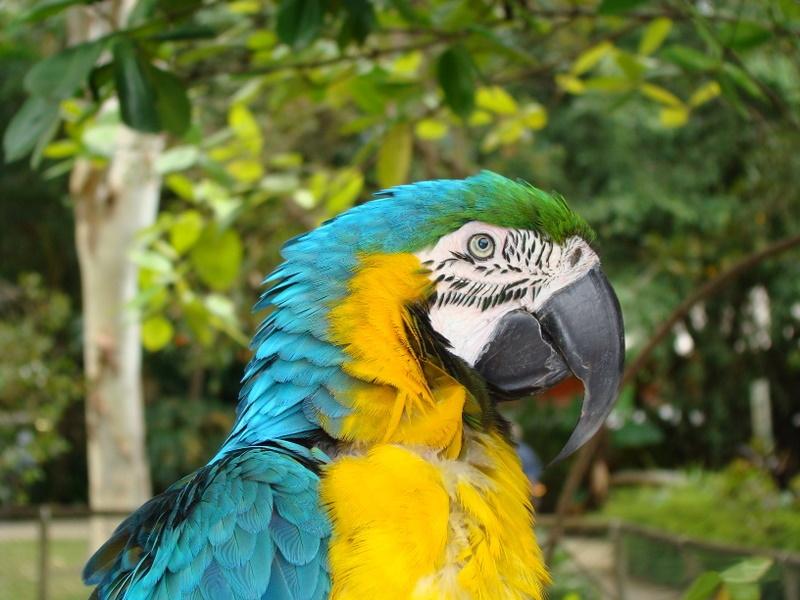 Ara_ararauna_-Cairns_Tropical_Zoo,_Australia-8a
