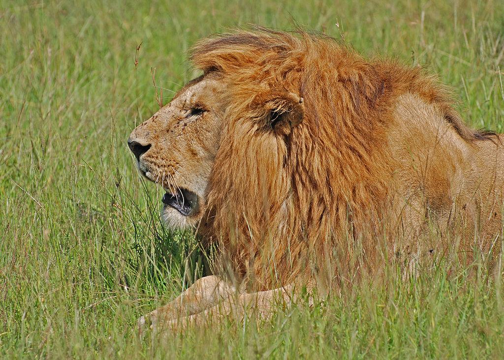 1024px-Lion,_Masai_Mara,_Kenya