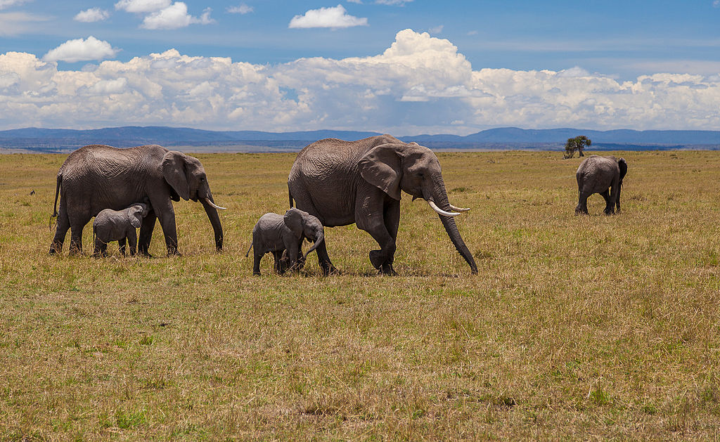 African_elephants_in_Maasai_Mara_National_Reserve_-_Kenya