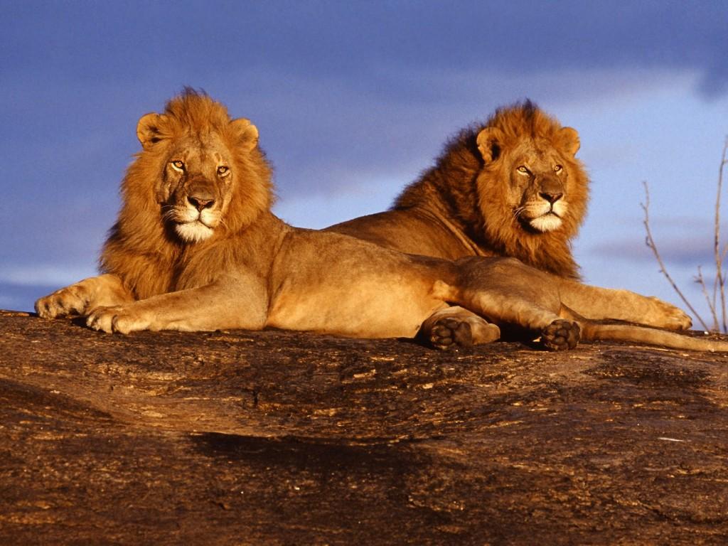 Maasai-Mara-Lion
