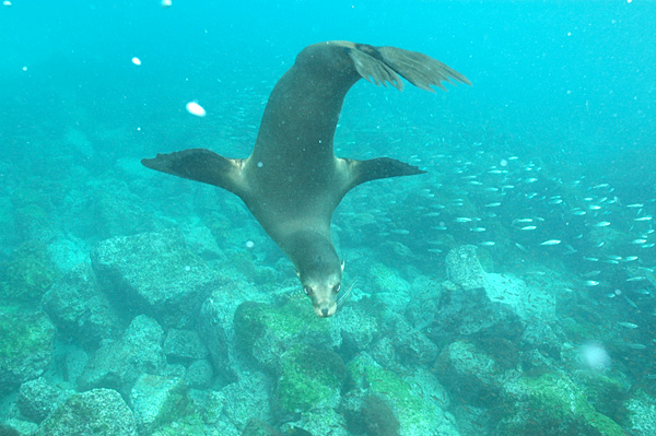 Juvenile_Sea_Lion,_Plaza_Island,_Galapagos_Islands,_Ecuador