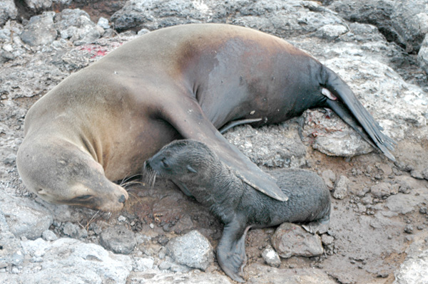 Sea_Lion_mother_and_pup,_Plaza_Island,_Galapagos_Islands,_Ecuador