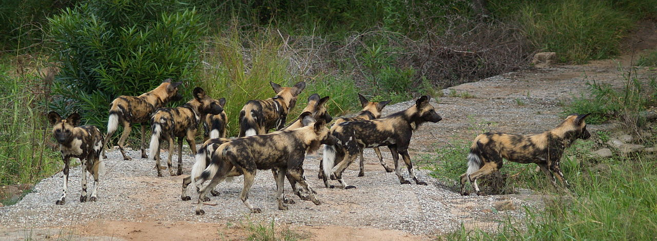 1280px-Wild_Dog_Kruger_National_Park_South_Africa