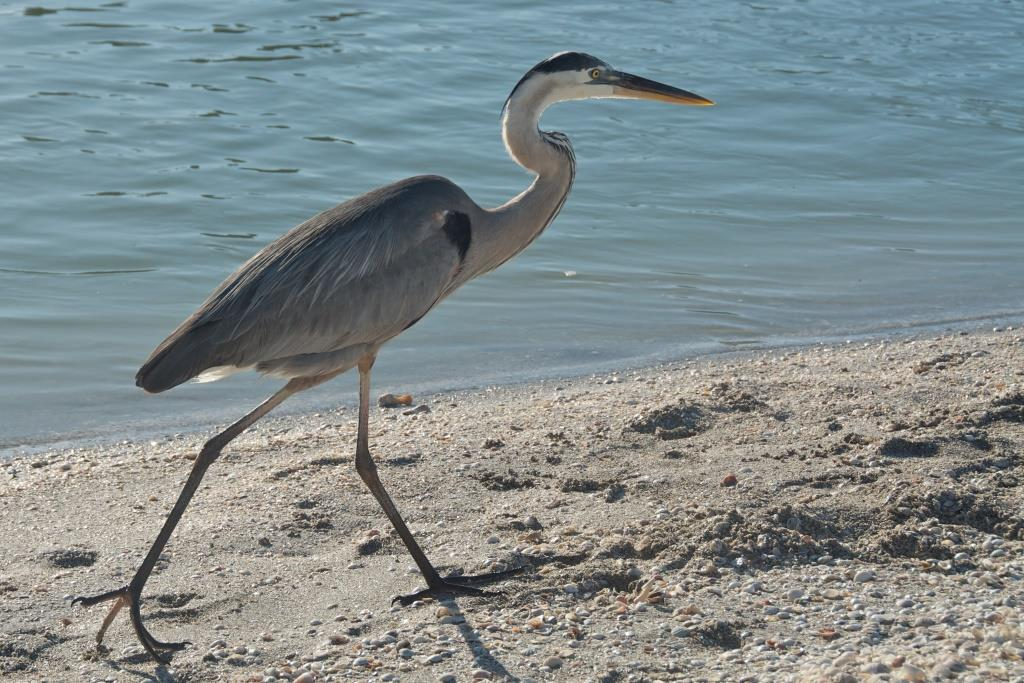 Ardea_herodias_-Sanibel_Island,_Florida,_USA-8