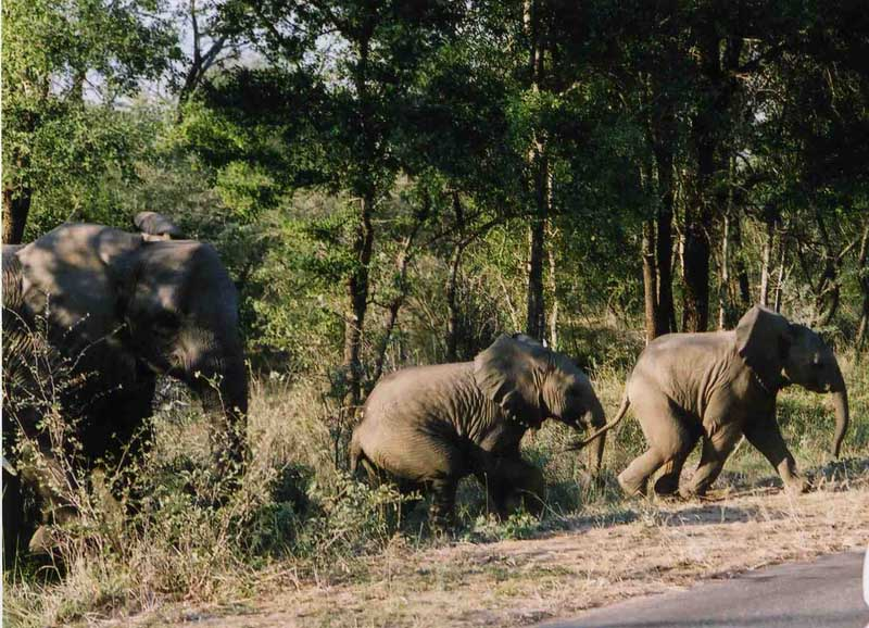 Elefant_family_Kruger_National_Park