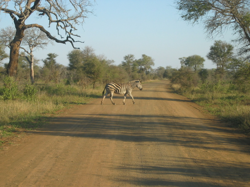Kruger_Park_Zebra