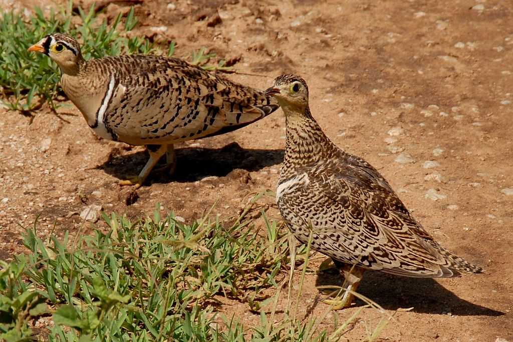 1024px-Pterocles_decoratus_-Serengeti_National_Park,_Tanzania_-pair-8