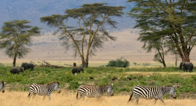 Zebras,_Serengeti_savana_plains,_Tanzania